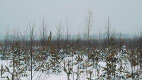 走在积雪的大草原灌木的年轻旅客在冬日 股票录像