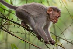 走在竹森林里的小短尾猿猴子 免版税库存图片