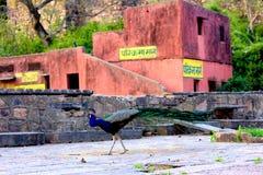 走在红色印地安结构旁边的孔雀 免版税库存照片