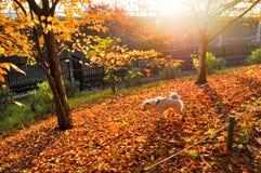 走在红色叶子的白色狗在一好日子 免版税库存照片