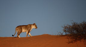 走在红色沙丘的雌狮 库存图片