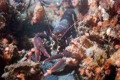 走在红色银莲花属之间的龙虾 库存图片