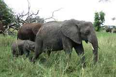 走在纳米比亚沙漠的大象家庭 库存照片