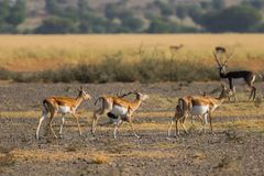 走在绿色背景和早晨光中的Blackbuck在tal chappar blackbuck圣所草原  免版税图库摄影