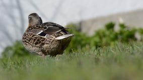 走在绿草的母野鸭鸭子在夏天阳光下 股票录像
