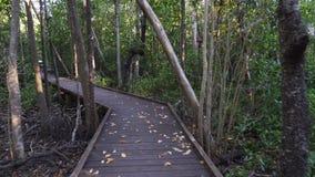 走在美洲红树木板走道在海角希尔斯伯勒角公园,澳大利亚 股票视频