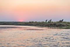 走在背后照明的灌木的斑马牧群在日落 在天际的风景五颜六色的阳光 在非洲人的野生生物徒步旅行队 库存图片