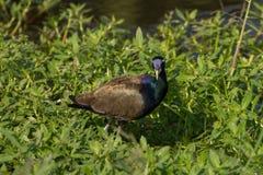 走在自然的古铜飞过的Jacana鸟 图库摄影