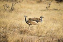 走在草原的两Kori鸨鸟 库存照片