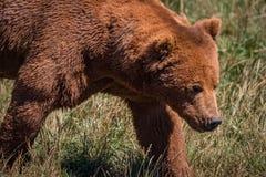 走在草原的棕熊特写镜头 库存图片