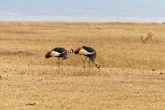 走在草原的野生鸟 库存图片