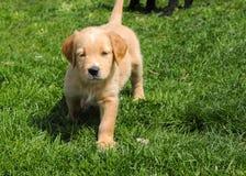 走在草坪的一个年轻金毛猎犬杂种 库存图片