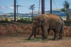 走在草坪,希腊的两头大象 免版税库存照片