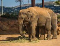 走在草坪,希腊的两头大象 库存图片