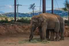 走在草坪,希腊的两头大象 免版税库存图片