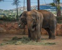 走在草坪,希腊的两头大象 图库摄影