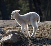 走在草甸的一只羊羔 免版税库存图片
