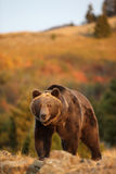 走在草甸的北美灰熊 图库摄影