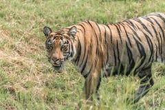 走在草甸的孟加拉老虎特写镜头 免版税库存图片
