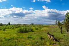 走在草甸的德国牧羊犬在晴天期间 库存图片