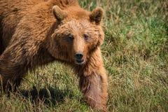 走在草甸的棕熊特写镜头 免版税库存照片