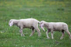 走在草甸的羊羔 免版税图库摄影