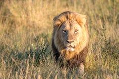 走在草的一头公狮子 免版税库存图片