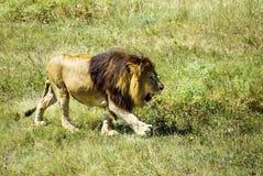 走在草的一头狮子 库存图片