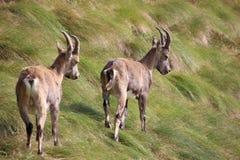 走在草的两steinbocks Orobie阿尔卑斯,意大利 免版税库存照片