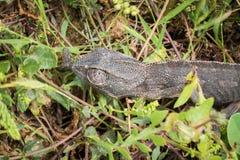 走在草的共同的变色蜥蜴 库存照片