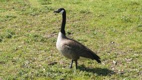 走在草的加拿大鹅 免版税图库摄影