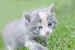 走在草的发烟性矮小的蓬松小猫 图库摄影