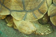 走在草的大乌龟 免版税库存照片