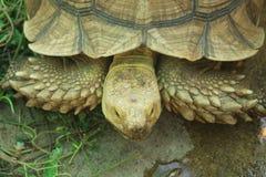 走在草的大乌龟 免版税图库摄影