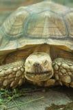 走在草的大乌龟 库存照片