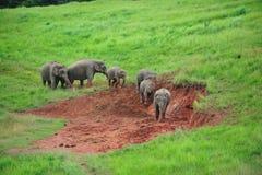 走在草的大象 图库摄影
