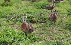 走在草的小棕色鸭子 库存照片