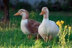 走在草的布朗和白色鸭子 库存图片