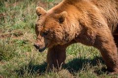 走在草的棕熊特写镜头 免版税图库摄影