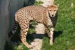 走在草的特写镜头前面非洲猎豹 免版税库存图片