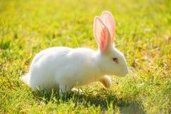 走在草的白色兔子在一个晴天 库存图片
