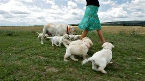 走在草的逗人喜爱的拉布拉多小狗赛跑 股票录像