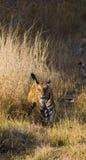 走在草的野生老虎在密林 印度 17 2010年bandhavgarh bandhavgarth地区大象印度madhya行军国家公园pradesh乘驾umaria 中央邦 免版税库存照片