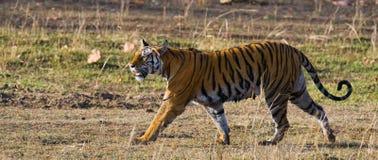 走在草的野生老虎在密林 印度 17 2010年bandhavgarh bandhavgarth地区大象印度madhya行军国家公园pradesh乘驾umaria 中央邦 库存图片