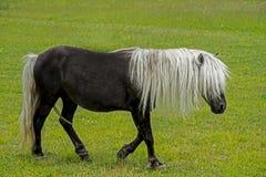 走在草的野生舍特兰群岛小马在Grayson高地 库存照片