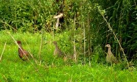 走在草的野鸡雄鸡和母鸡 免版税库存图片