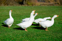 走在草的雪雁 7个动物动画片农厂例证系列 库存照片