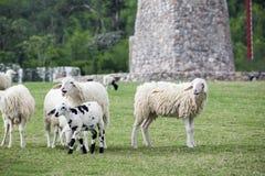 走在草的绵羊牧群  免版税库存照片