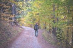 走在落叶松属树森林地,被定调子的图象 库存图片