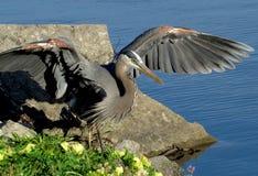 走在蓝色湖旁边的伟大蓝色的苍鹭的巢 免版税库存图片